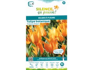 Tulipe botanique praestas shogun - Calibre 9/10 - X10