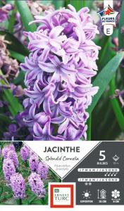 Jacinthe de Bretagne Splendid Cornelia - X5 - Calibre 15/+