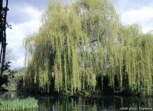 Saule pleureur - Salix 'Babylonica' - 200/250 cm - Contenant de 15 litres