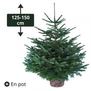 Sapin Nordmann conteneur en pot - Green attitude - Hauteur 125/150 cm