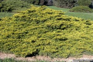 Juniperus Pfitzer 'Old Gold' - Conten ant de 2 litres