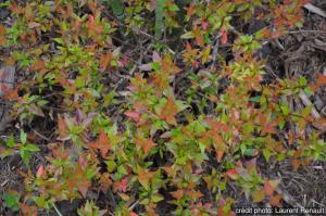 Abelia grandiflora sherwood - Contenantde 4 litres
