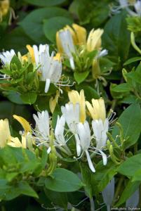 Chèvrefeuille - Locinera  japonica 'Hall's Prolific'  - Tipi - Contenant de 3 litres