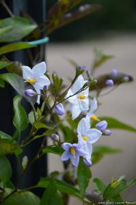 Solanum jasminoide - Tipi - Contenant de 3 litres