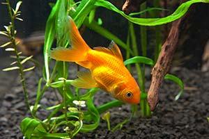 Essentiels poisson aquarium