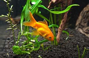 Poisson rouge aquarium eau froide