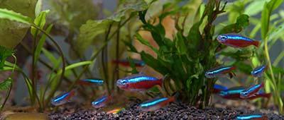 Aquarium eau chaude poissons neon decor et plantes aquatiques naturelles
