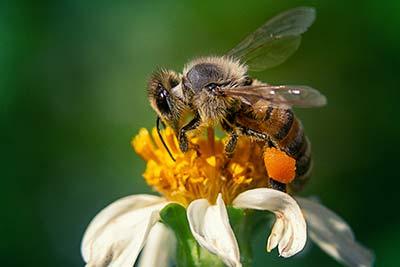 Abeille pollinisation plante