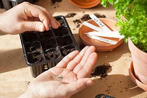 Semis graines potagere