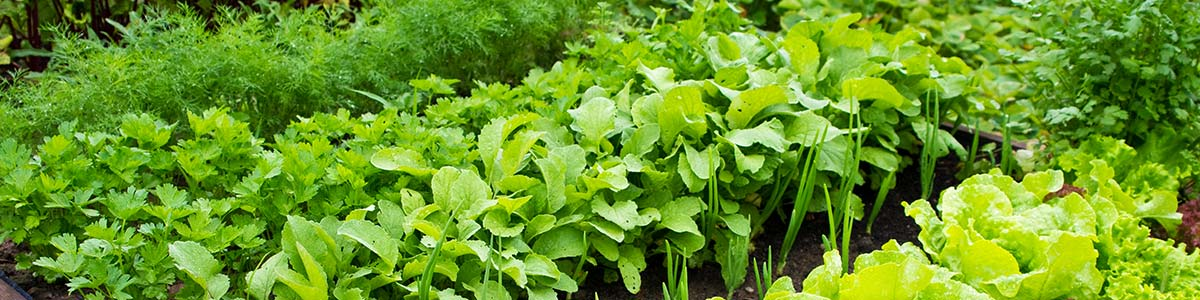 potager legumes culture semence salade